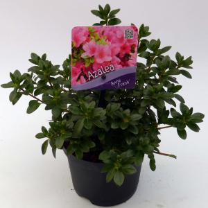 """Rododendron (Rhododendron Japonica """"Anne Frank"""") heester - 15-20 cm - 8 stuks"""