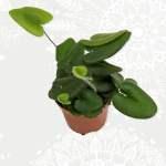 Hartjesvaren Hemionitis Arifolia