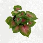 Caladium green pink