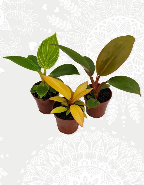 Philodendron mini box