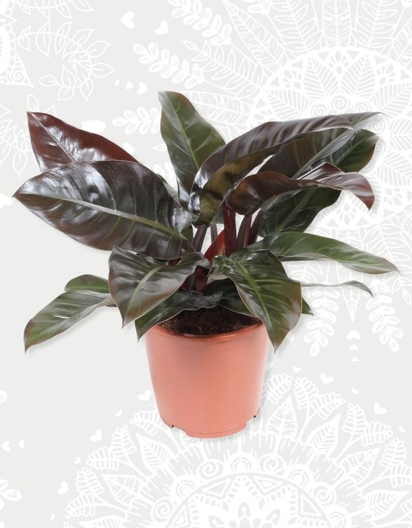 Philodendron Imperial Red Groot