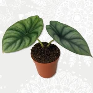 Alocasia Nebula baby plant