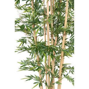 bambou géant 3-2 zoom