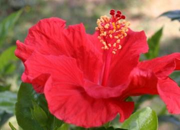 Maladies Des Hibiscus De Jardin   Aleurode Mouche Blanche Espace ...