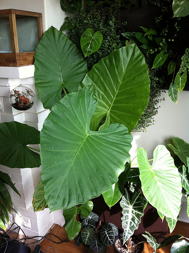 Picture Elephant Plant Ears S