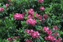Kalmia latifolia 'Pink Surprise'