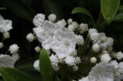 Kalmia latifolia 'Snowdrift'