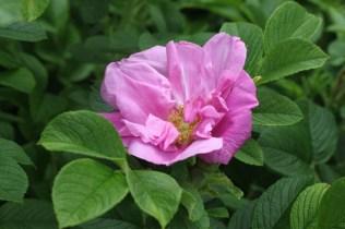 Rosa 'Delicata' Rugosa 1898