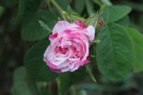 Rosa 'Pink Leda'