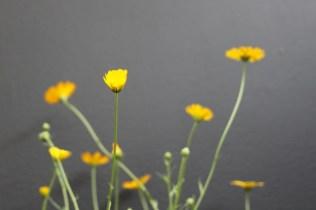 Calendula eckerleinii