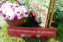 Rivière - collection of Paeonia