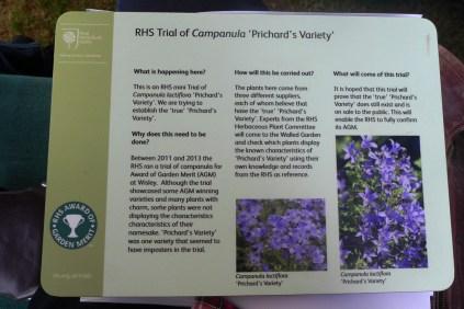 Trial of Campanula 'Prichard's Variety'