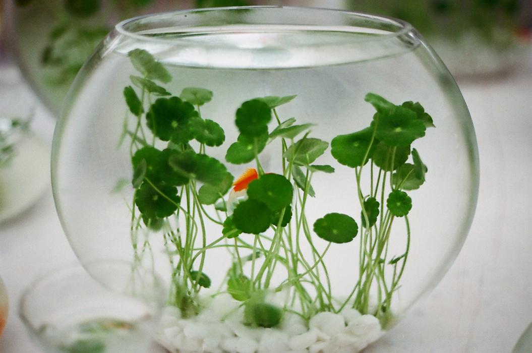 銅錢草 | Planting Information