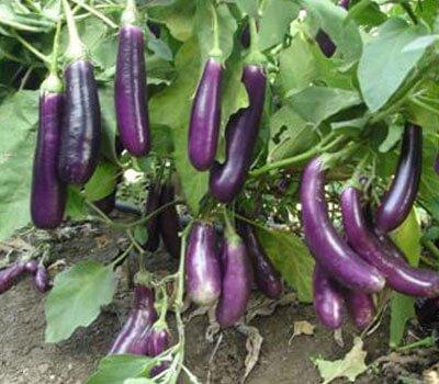Brinjal - Vegetable garden