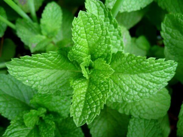 Peppermint - Indoor herb garden