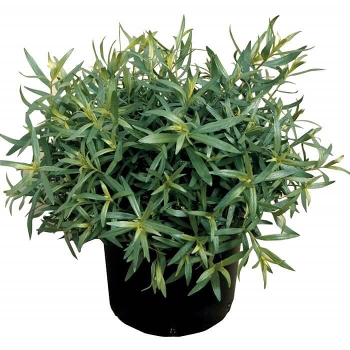 Tarragon - Herb garden