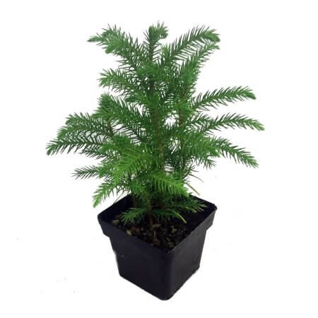 Living christmas tree - Indoor House Plants