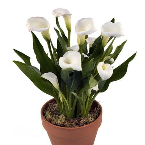 Calla lily - Indoor House Plants