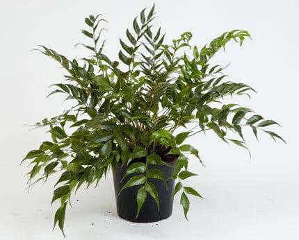 Cyrtomium falcatum - Indoor House plants