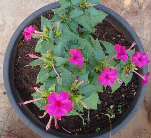 Mirabilis jalapa - Flowering plants