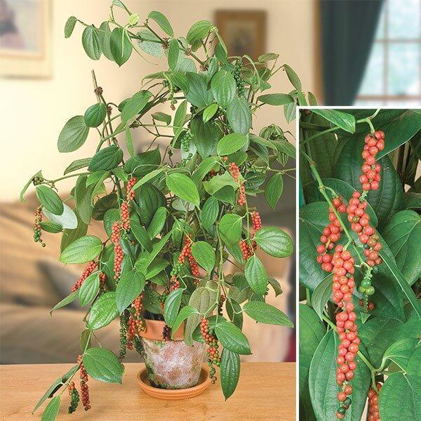 Peppercorn - Indoor Herbal Garden