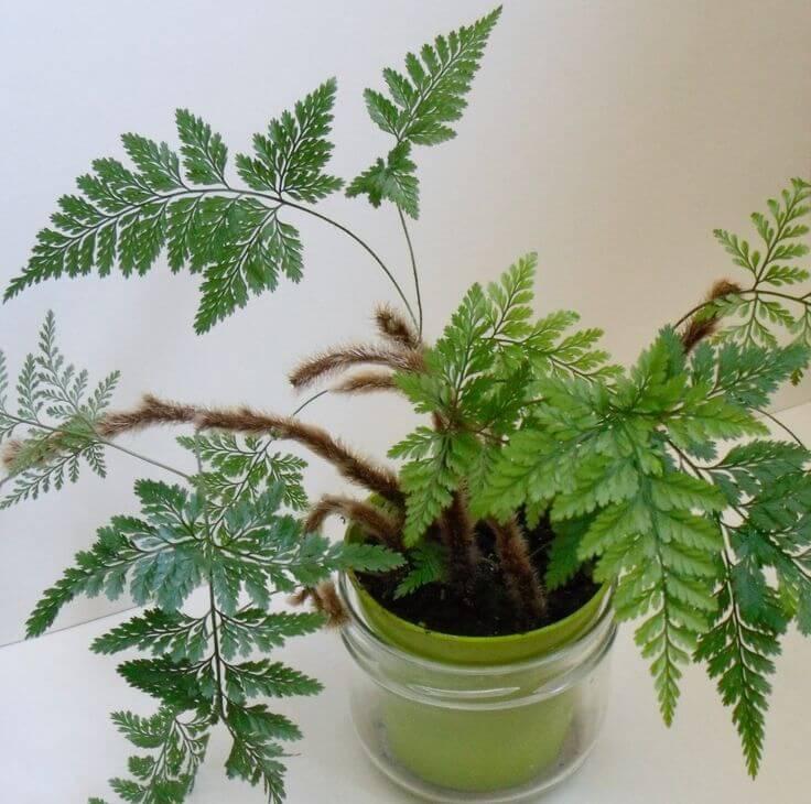 Rabbit foot fern - Fern plants