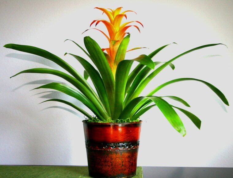 Guzmania lingulata - Indoor House Plants