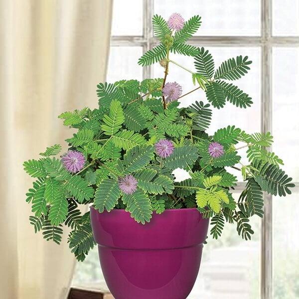 Mimosa Pudica - Indoor House Plants