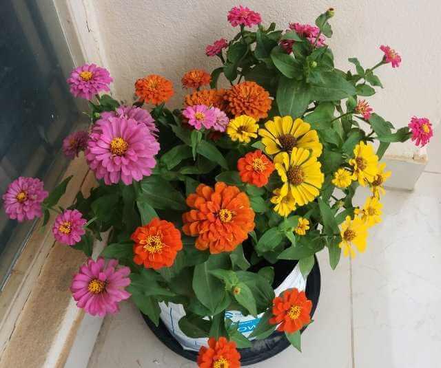 Zinnia - Flowering plants