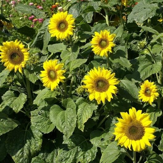 Sunflower - Flowering plants