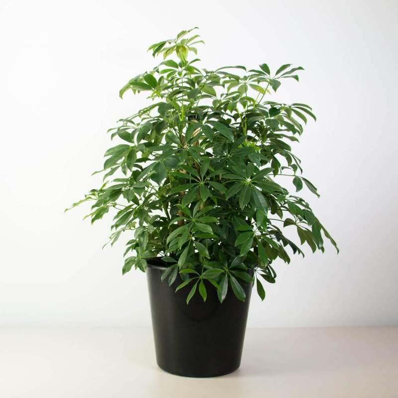 Umbrella plant - Indoor House Plants