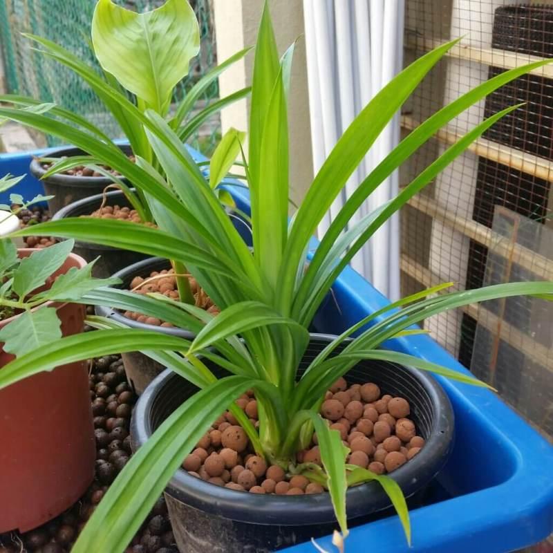 Pandan (Pandanus amaryllifolius) - House Plants