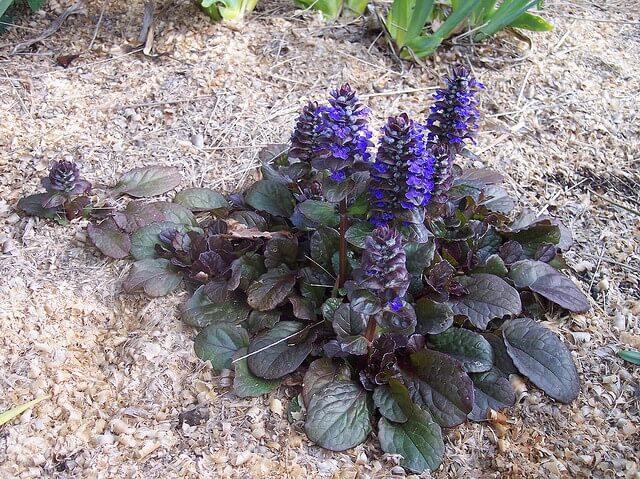 Ajuga reptans - Herb garden