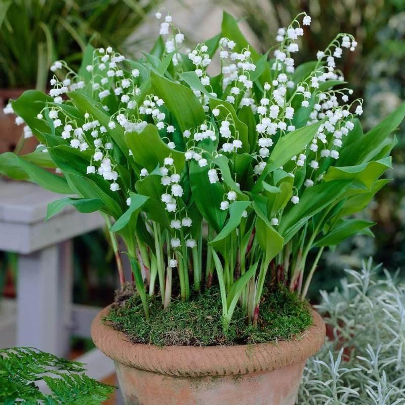 Convallaria majalis - Flowering plants