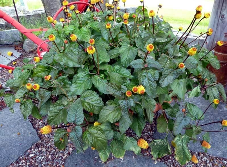 Acmella oleracea - Herb garden