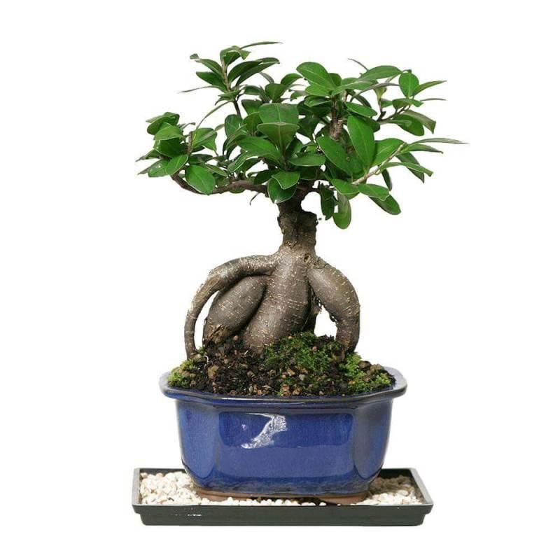 Ficus microcarpa - Bonsai tree