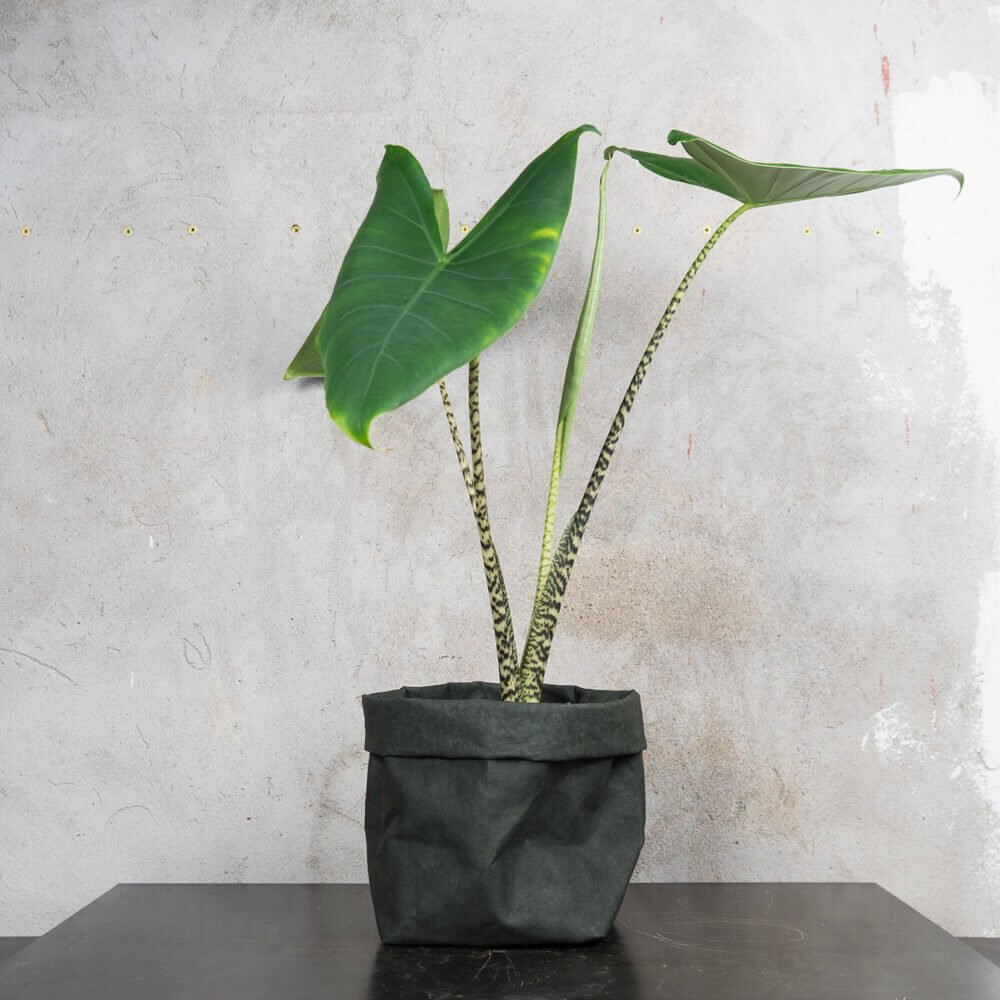 Alocasia zebrina - Indoor House Plants