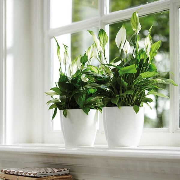Spathiphyllum wallisii (Peace lily) - Indoor House Plants