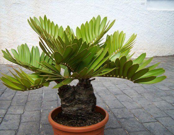 Zamia furfuracea - Indoor House Plants