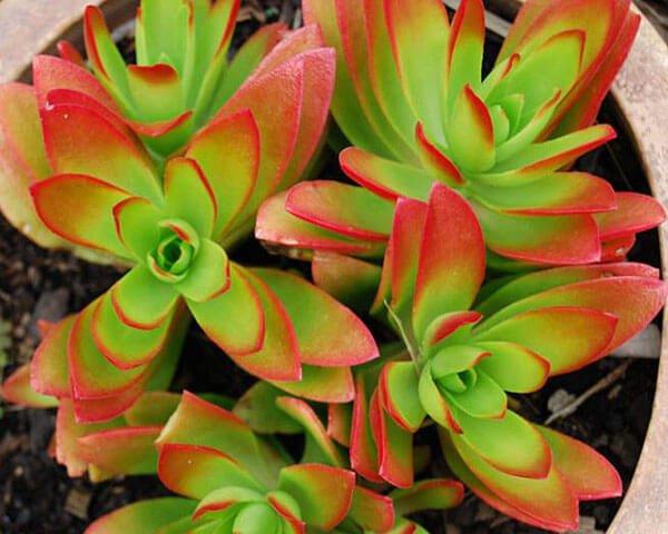 Crassula capitella (Campfire Plant ) - Indoor House Plants