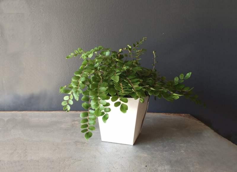 Pellaea rotundifolia (Button fern) - Fern plants