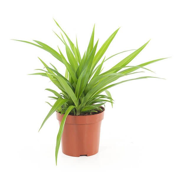 Chlorophytum comosum Lemon - Indoor House Plants