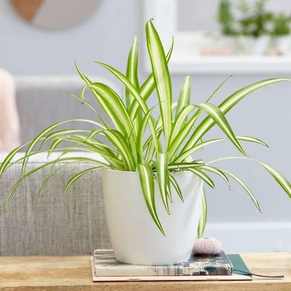 Chlorophytum comosum Vittatum - Indoor House Plants