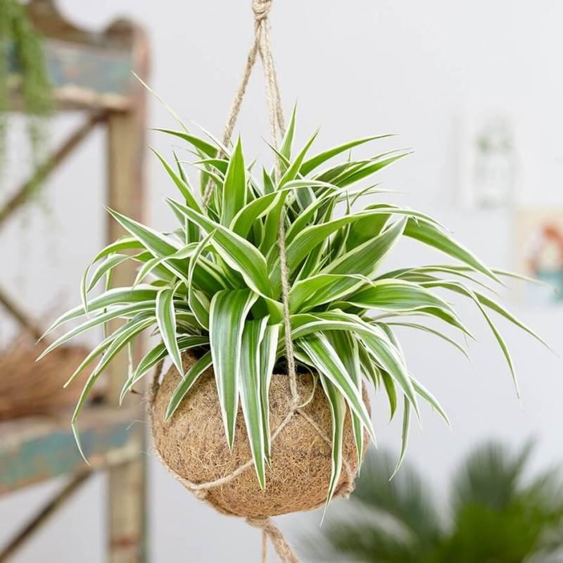 Spider Plant (Chlorophytum comosum Ocean) - Indoor House Plants