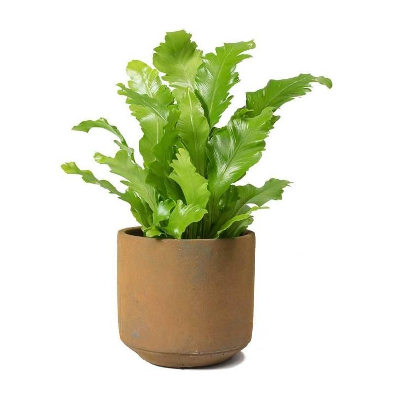 Asplenium nidus Campio - Indoor House Plants