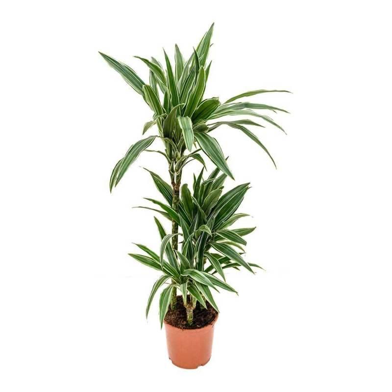 Dracaena deremensis Warneckii - Indoor House Plants