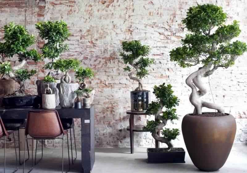Ficus Ginseng - Indoor Plants
