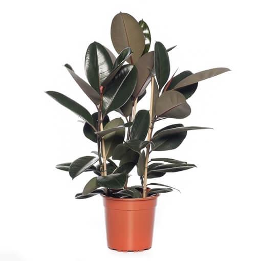 Ficus elastica Abidjan (Rubber Plant) - Indoor House Plants