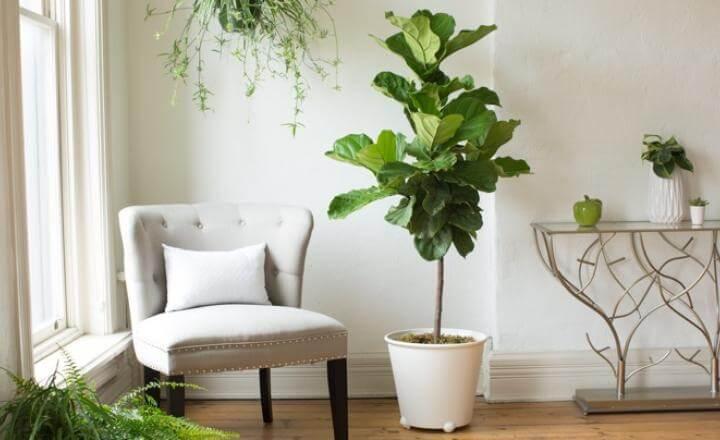 Ficus lyrata Bambino (Dwarf Fiddle Leaf Fig) - Indoor House Plants
