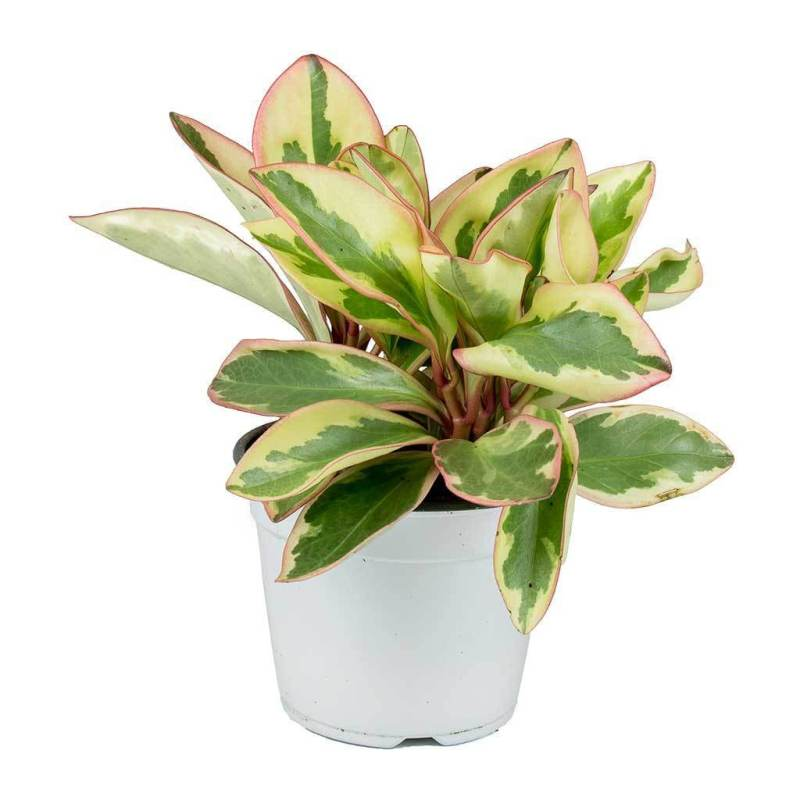 Peperomia clusiifolia Jelly - Indoor House Plants